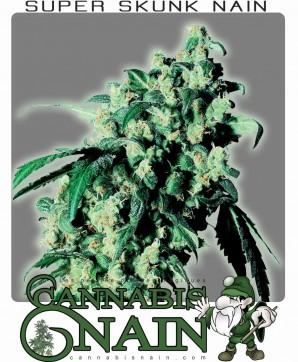 une plante de cannabis naine