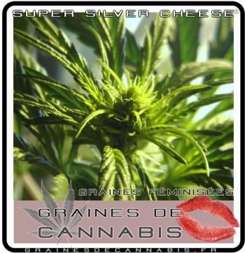 plante de cannabis sativa femelle
