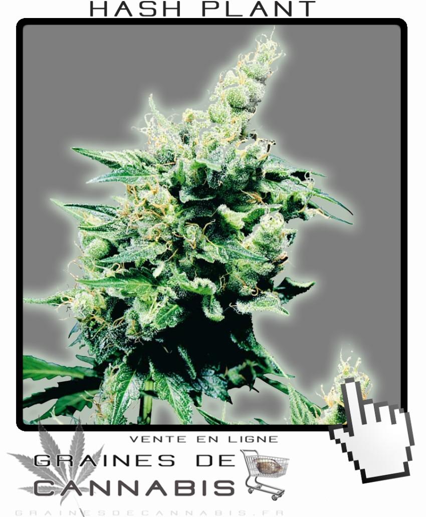 Graines pour une plante hash for Graine de weed exterieur