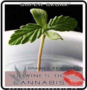 Graines f minis es pour l ext rieur for Meilleur engrais pour cannabis exterieur