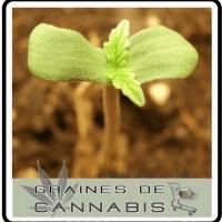 pousse-germination