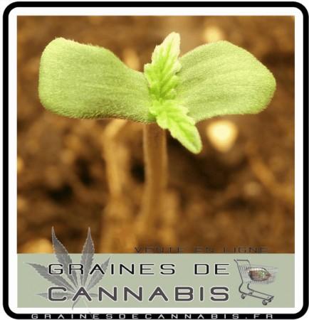 Une pousse de cannabis