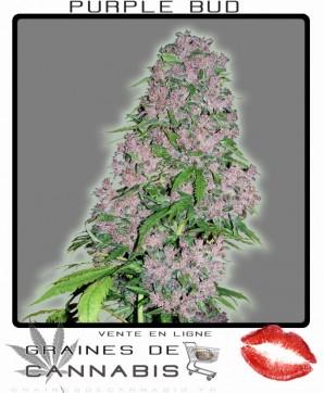feminisierte cannabis samen bestellen: purple bud