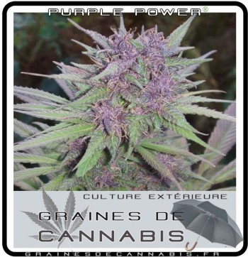 Graines pour la culture en ext rieur for Culture de cannabis en exterieur