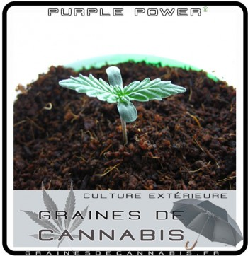 purple-power-cannabis-pousse