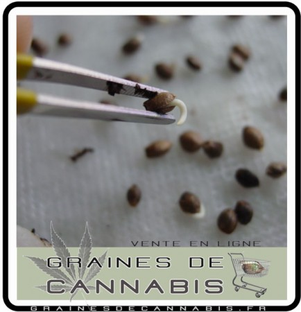 racine graine cannabis