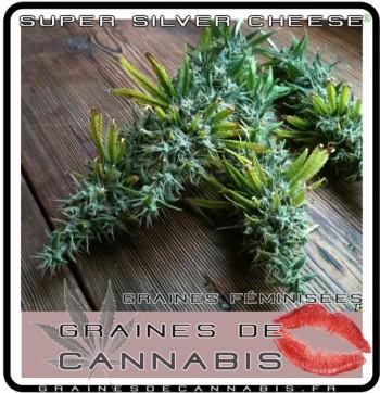 La récolte de cannabis-sativa