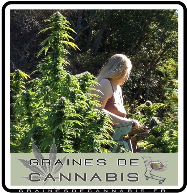 Le s chage du cannabis for Ou planter du cannabis en exterieur