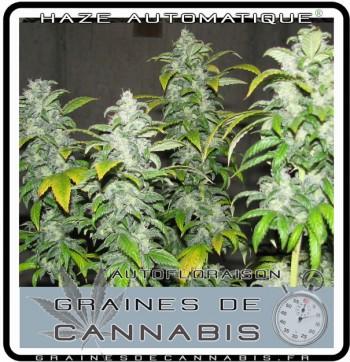 La récolte du cannabis autofloraison