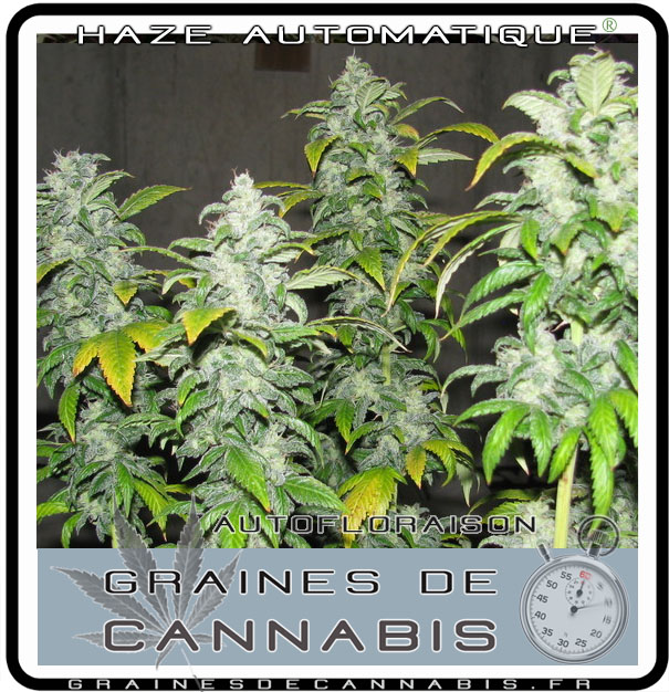 Graines de cannabis autofloraison pour l int rieur for Planter du cannabis en interieur