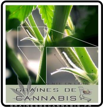 reconnaitre-cannabis-femelle