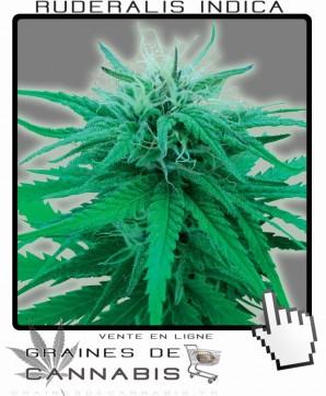 Graines de cannabis ruderalis indica