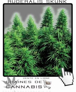 cannabis ruderalis skunk