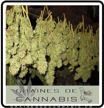 Comment manucurer cannabis for Autofloraison interieur