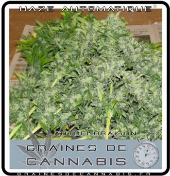 sécher cannabis autofloraison