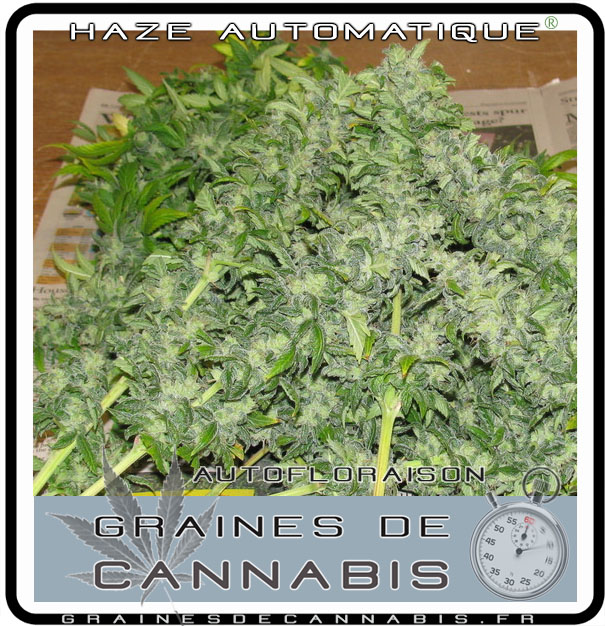 Graines de cannabis autofloraison pour l int rieur for Plante cannabis interieur