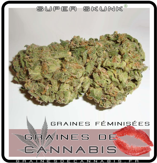 Graines f minis es pour l ext rieur for Graine cannabis exterieur
