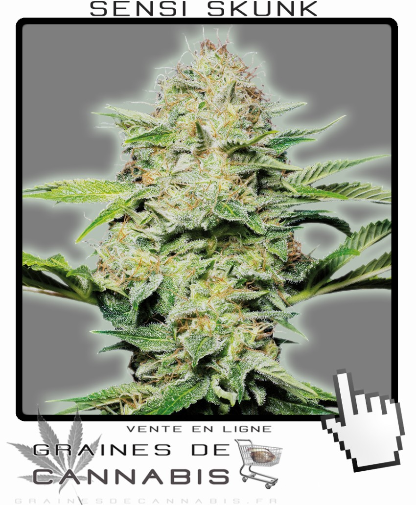 Graines de cannabis autofloraison for Skunk interieur