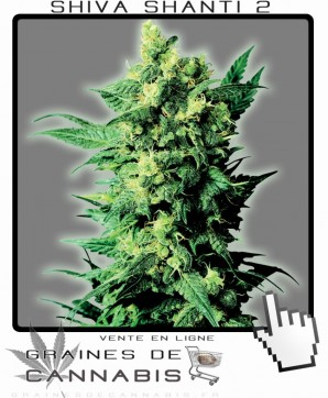 shiva shanti2 weed