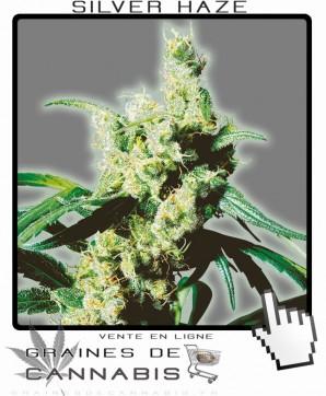 silver haze cannabis