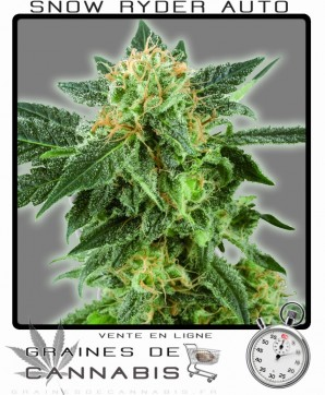 Cannabis nain graines de weed for Planter du cannabis en interieur
