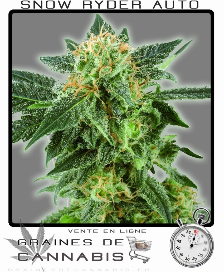 Graines de cannabis petite autofloraison snow ryder for Graine de weed exterieur