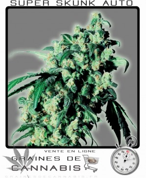 super skunk à floraison automatique