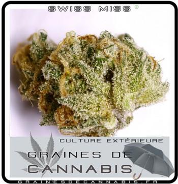 swiss-miss cannabis après ls récolte et séchage