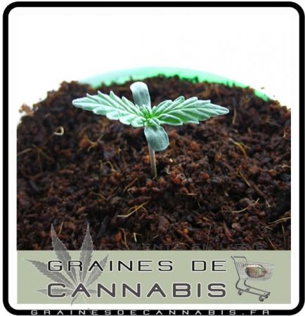 transplanter pousse cannabis