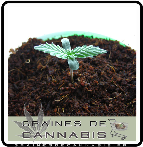 La germination for Pousse de cannabis en interieur