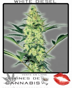 graines de cannabis feminisees: white diesel