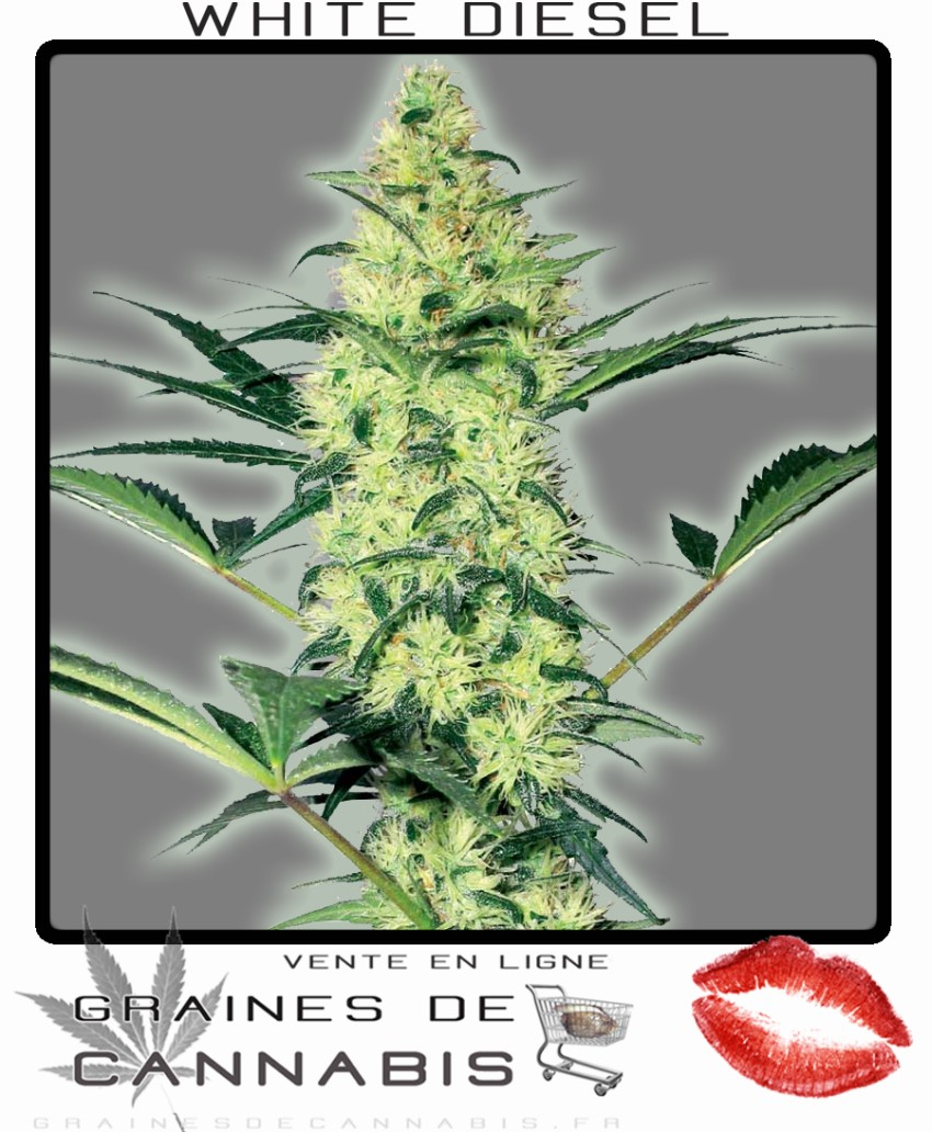 Graine de cannabis feminisee interieur 28 images for Graine de cannabis interieur