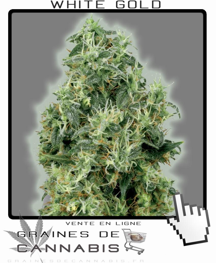 Graines de cannabis tr s haut rendement r colte g ante for Graine de weed exterieur