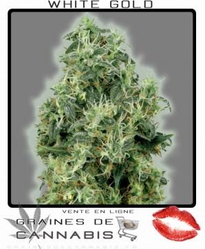Graines de cannabis à très haut rendement
