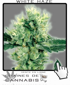 Graines auto-flo de white haze cannabis
