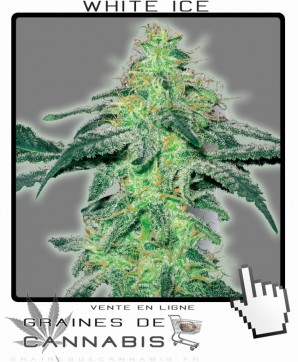 semences de white ice cannabis