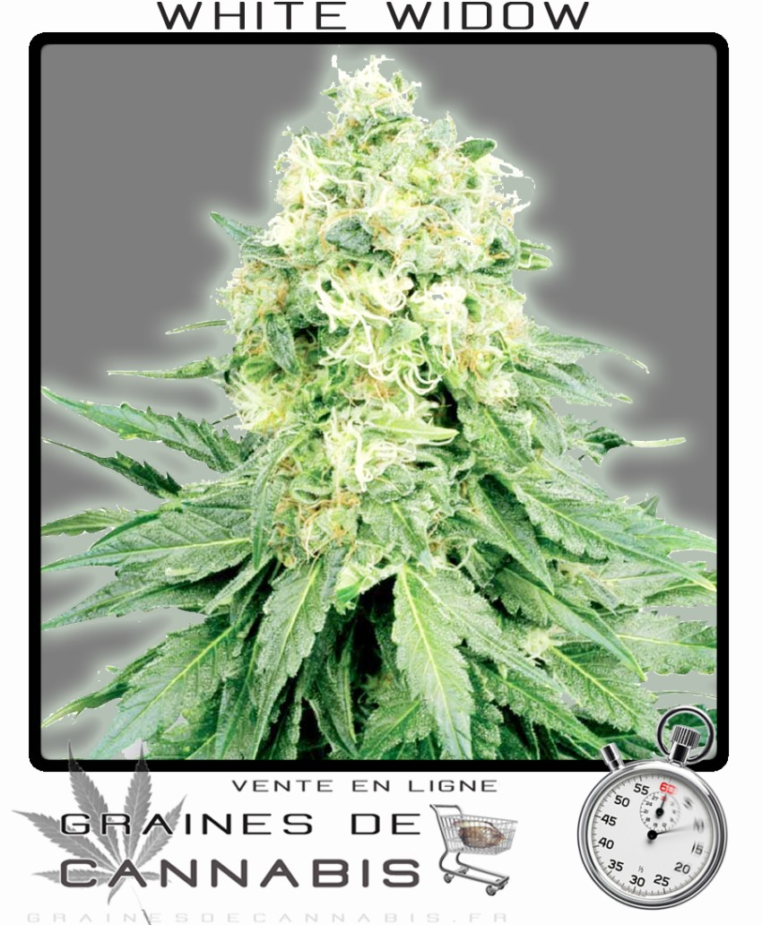 Graines de white widow autoflo for Floraison cannabis exterieur