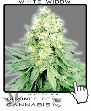 La white widow authentique