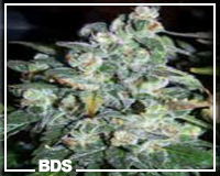 White Rhino graines de cannabis