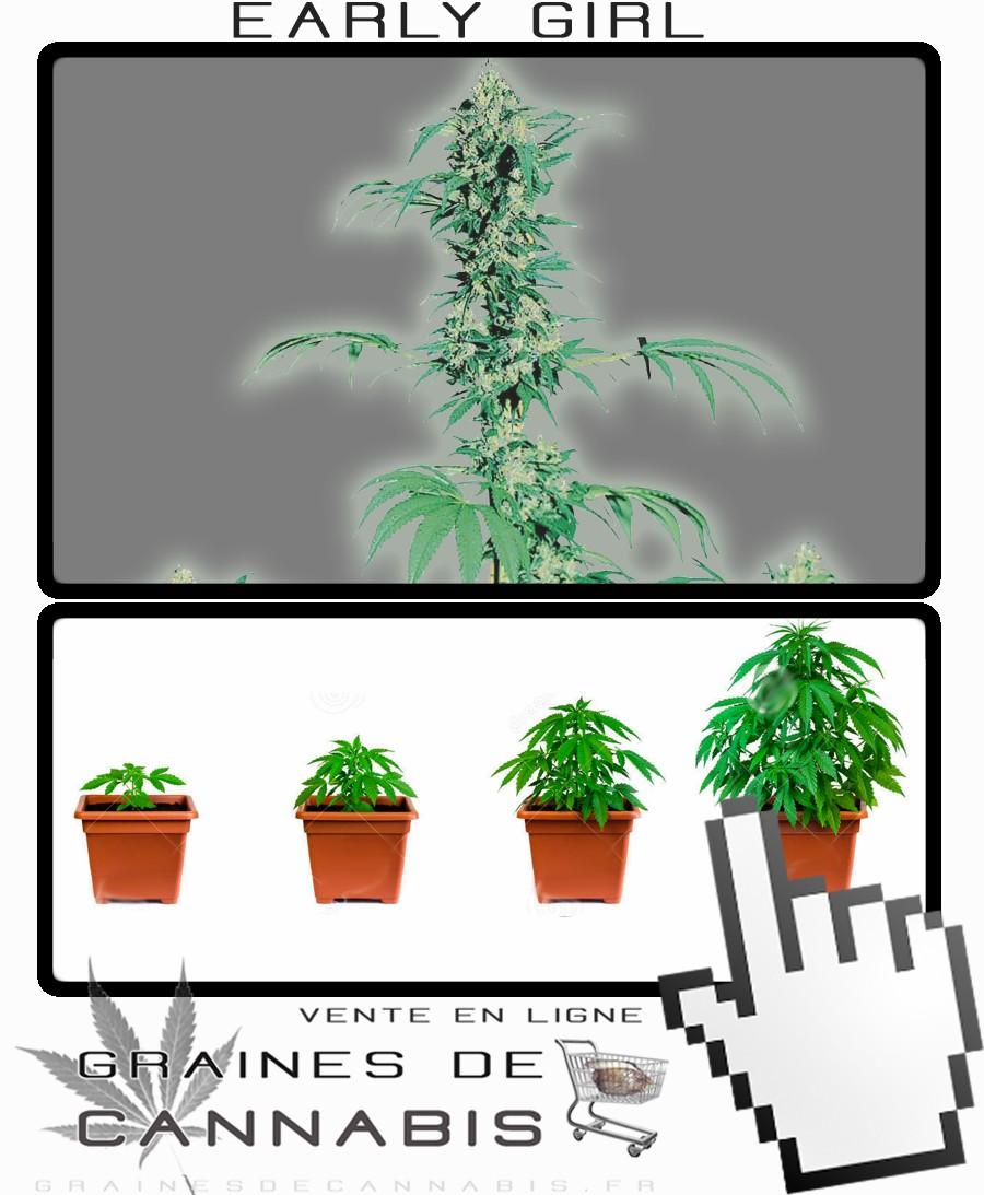 faire pousser son cannabis | Graines de cannabis