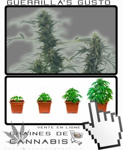 Comment tailler Guerrilla S Gusto cannabis?