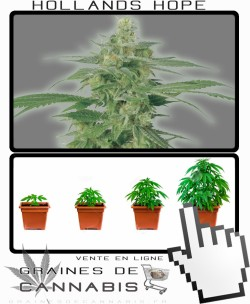 Comment tailler Hollands Hope cannabis?