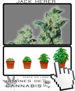 Comment tailler Jack Herer cannabis?