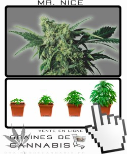 Comment tailler Mr Nice cannabis?