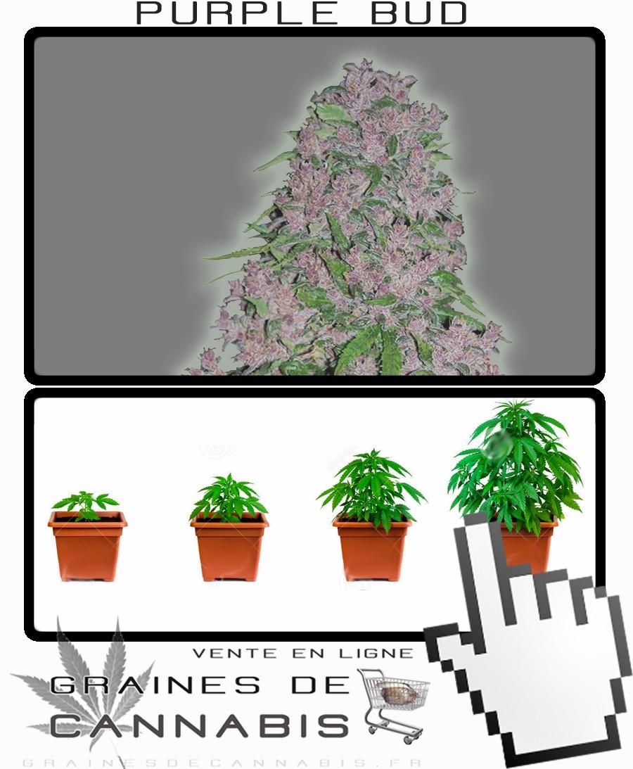 Graines de Cannabis puissant et facile à cultiver
