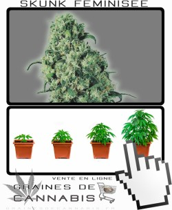 Comment tailler Skunk 1 Feminisée cannabis?