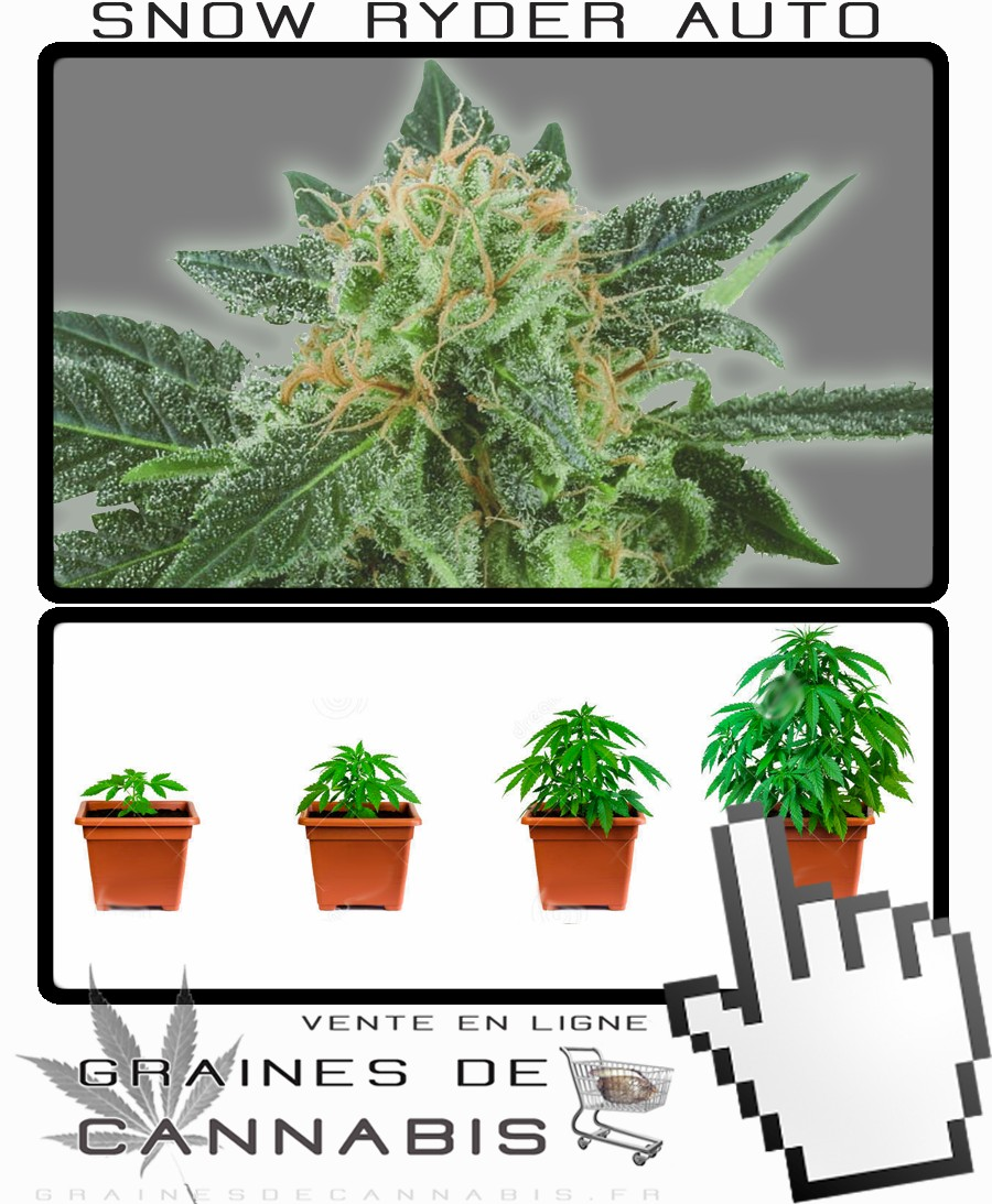 Graines de cannabis petite autofloraison snow ryder for Plante cannabis interieur