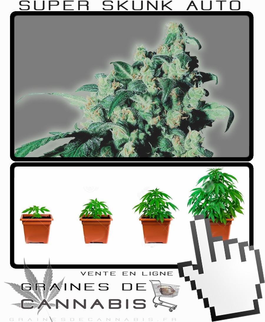 Cannabis compact avec un haut rendement for Autofloraison interieur