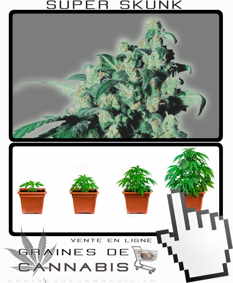 Graines de super skunk cannabis for Pousse de cannabis en interieur