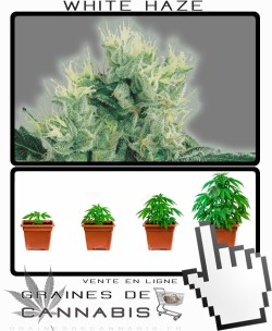 Comment tailler White Haze cannabis?